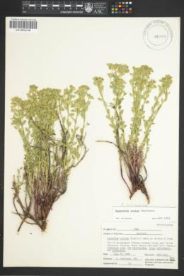 Euphorbia schizoloba image