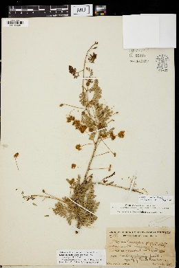 Image of Acacia peninsularis