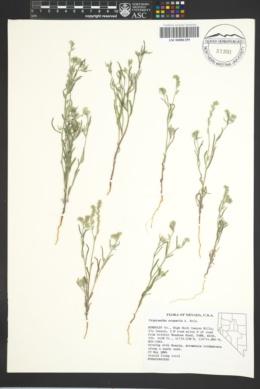 Image of Cryptantha scoparia