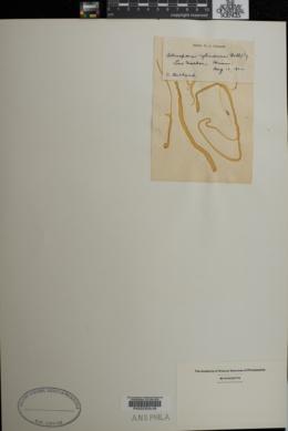 Tetraspora cylindrica image