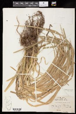 Carex crus-corvi image
