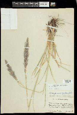 Muhlenbergia emersleyi image