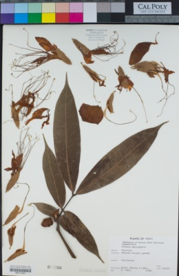 Image of Brownea macrophylla