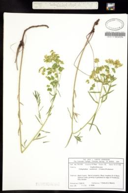 Image of Tithymalus uralensis