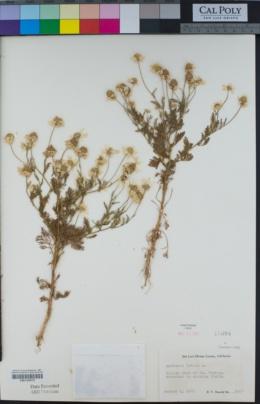 Anthemis cotula image