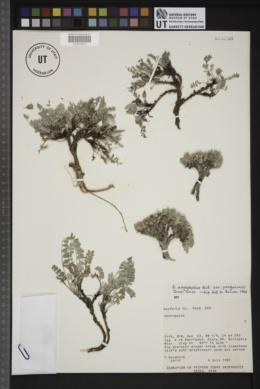 Astragalus argophyllus var. panguicensis image
