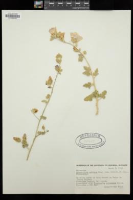 Sphaeralcea ambigua var. rosacea image