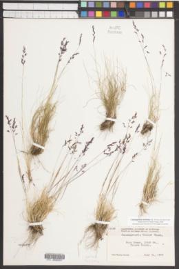 Image of Calamagrostis muiriana
