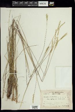 Image of Paspalum lineare