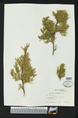 Juniperus deppeana image