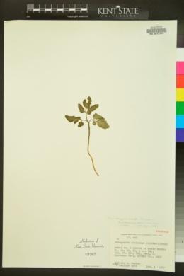 Botrychium oneidense image