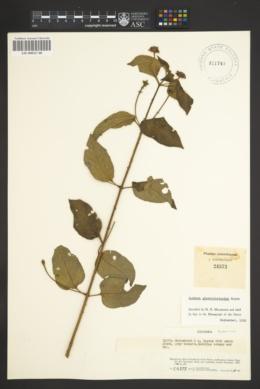 Image of Lantana glandulosissima