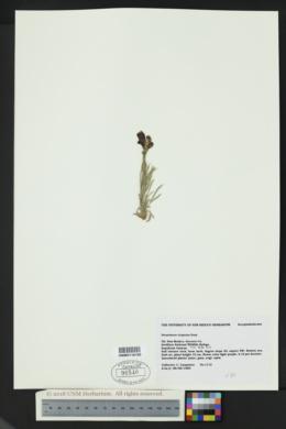Penstemon virgatus image