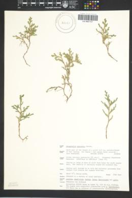 Selaginella rupincola image