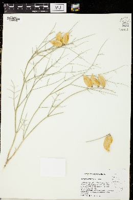 Image of Astragalus pterocarpus