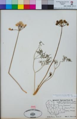Cymopterus panamintensis image