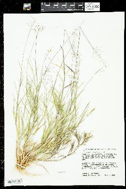 Dichanthelium aciculare image