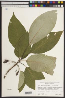 Image of Nyssa uniflora