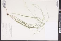Carex pseudoscirpoidea image