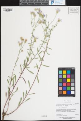 Image of Machaeranthera aquifolia