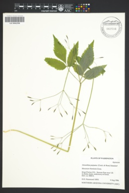 Image of Osmorhiza purpurea