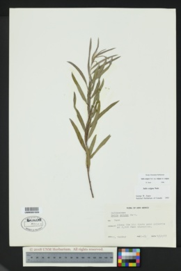 Salix exigua var. exigua image