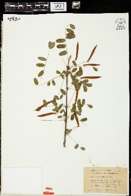 Caragana arborescens image