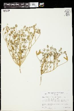 Lupinus bicolor subsp. marginatus image
