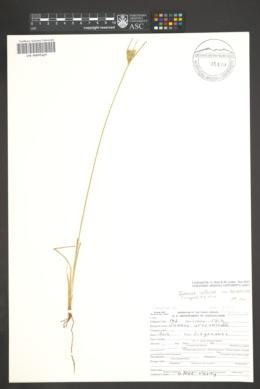 Juncus interior var. arizonicus image