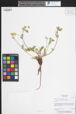 Geum rossii var. turbinatum image