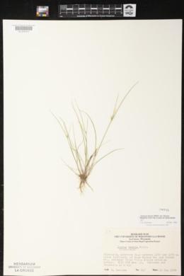Juncus tenuis var. tenuis image