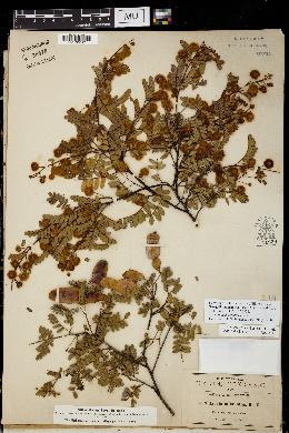 Image of Senegalia micrantha