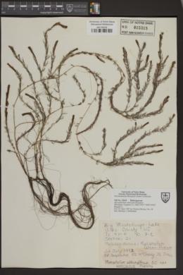 Image of Myriophyllum alterniflorum
