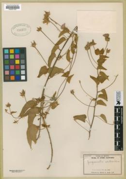 Jacquemontia abutiloides image