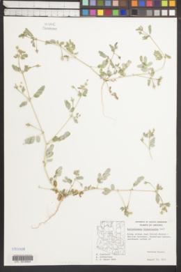 Kallstroemia hirsutissima image