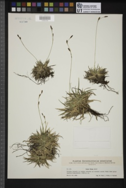 Carex firma image