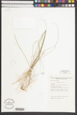 Image of Austrostipa variabilis