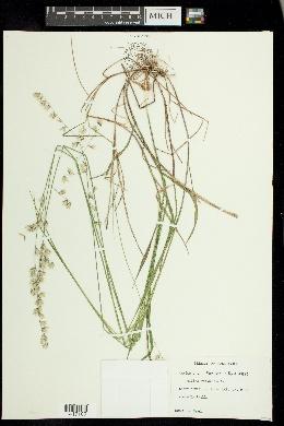 Melica mutica image