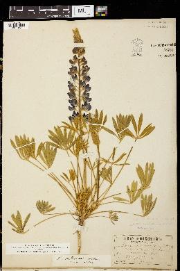 Image of Lupinus hellerae
