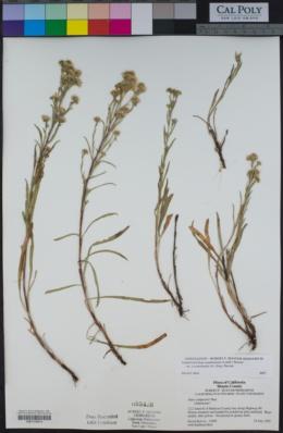 Symphyotrichum spathulatum var. yosemitanum image