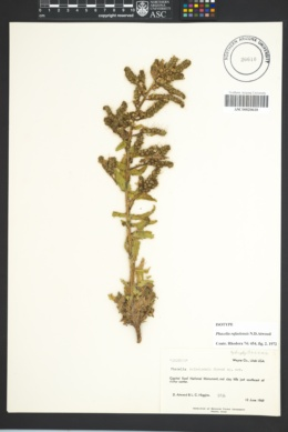 Image of Phacelia rafaelensis