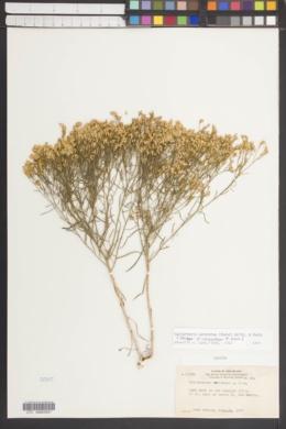 Image of Gutierrezia corymbosa