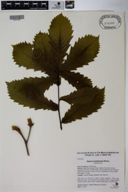 Quercus hartwissiana image