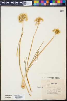 Image of Allium drummondii