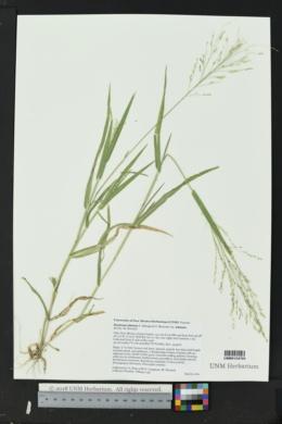 Panicum alatum image