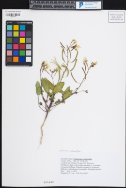 Image of Chylismia eastwoodiae