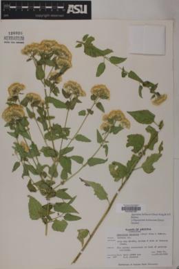Ageratina herbacea image