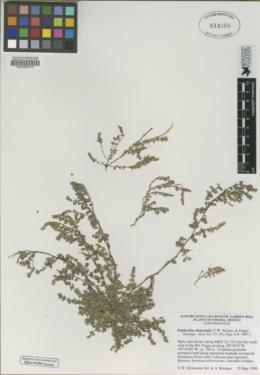 Euphorbia alatocaulis image