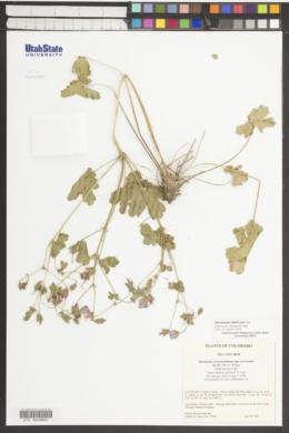 Image of Geranium ibericum