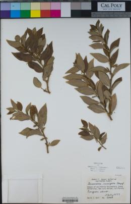 Sarcococca ruscifolia image
